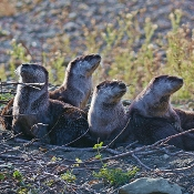 Group of otters on the river bank