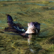 an otter in the water