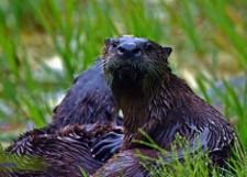 Close up of an otter