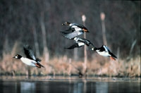 A group of ducks flying over the water