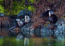 otters on the bank of a river